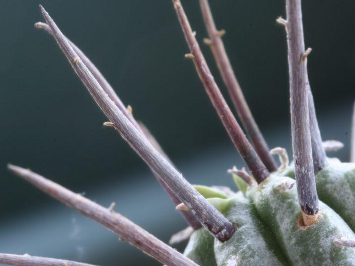 Épines de cactus