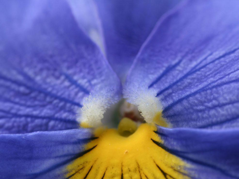 orchidée bleu et jaune