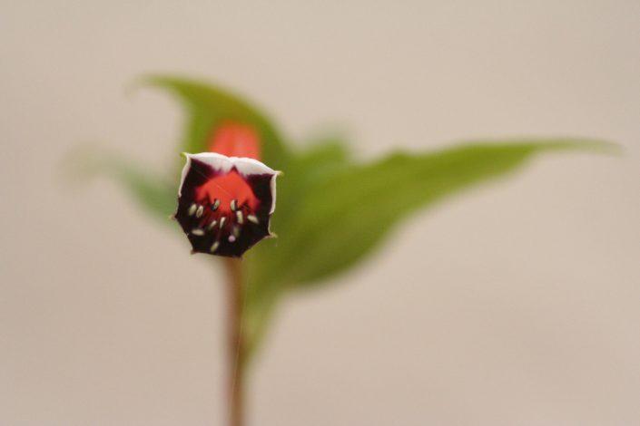 Fleur rouge et noir
