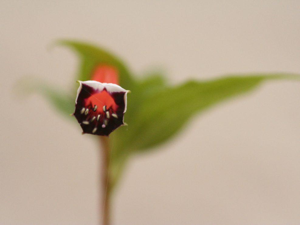 Fleur noir et rouge