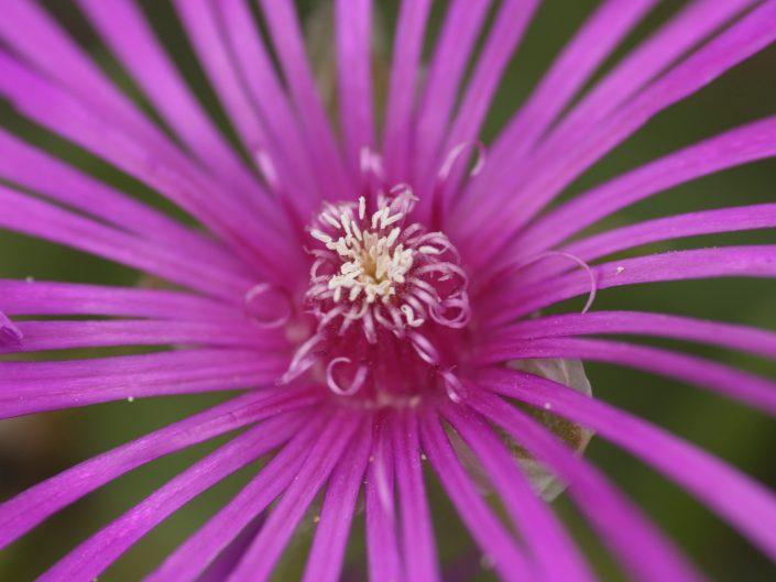 Rayons lilas