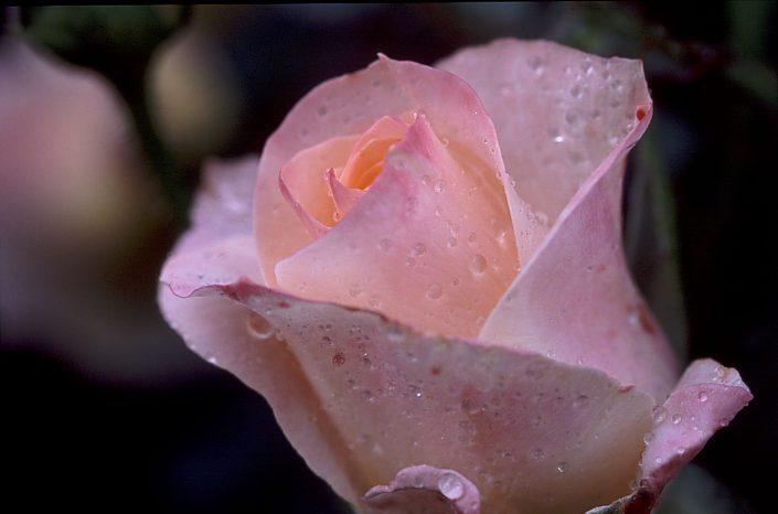 Rose et gouttes de pluie