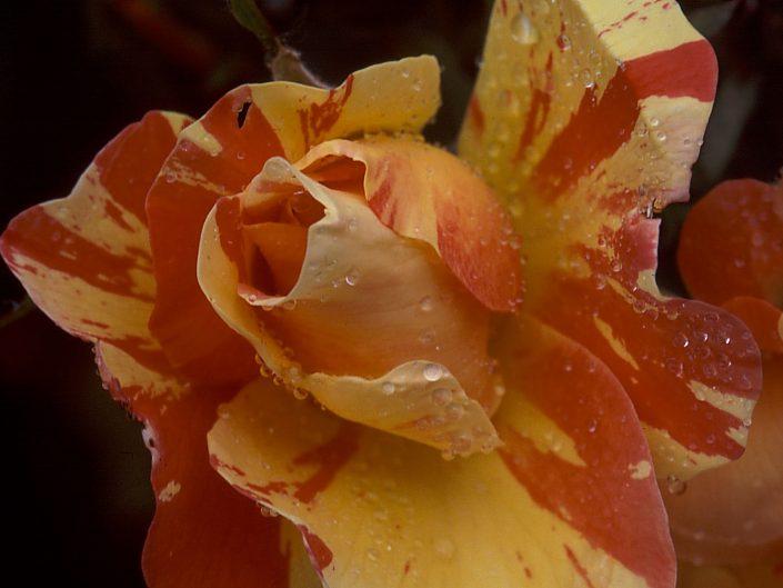 Rose jaune et rouge