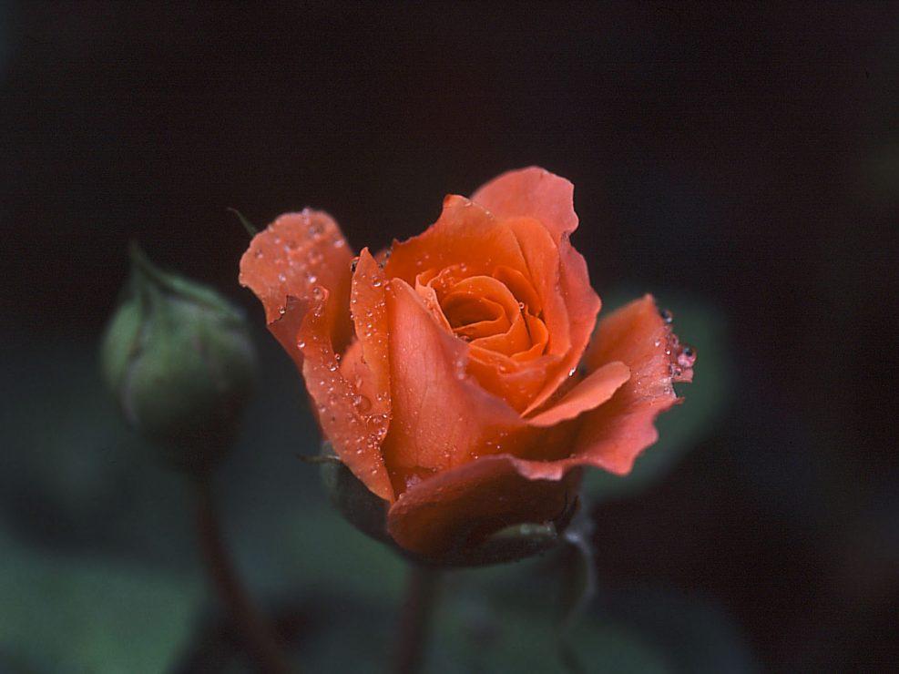 Rose et pluie